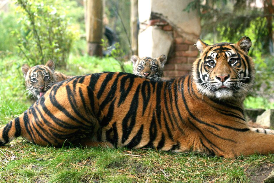 A tiger and her two cubs